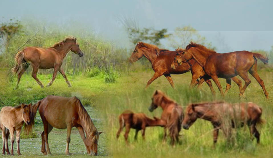 Horses of Dibru Saikhowa National Park